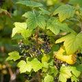 Rubus hudsonianum ripe wild Northern Black Currant Royalty Free Stock Photo