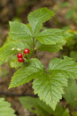 Rubus saxatilis Royalty Free Stock Image