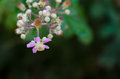 Rubus ulmifolius flower of a Royalty Free Stock Photo