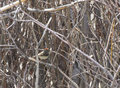 Ruby crowned kinglet bird flashing color a tiny regulus calendula it s red head Stock Photos