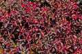 Ruby Red Ornamental Plants Stock Images