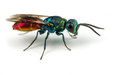 Ruby tailed wasp chrysis on a white background Stock Images