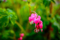 Ruby throated hummingbird ,archilochus colubris Royalty Free Stock Photo