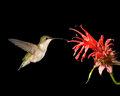 Ruby throated hummingbird and bee balm a feeding on a flower Royalty Free Stock Images