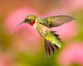 Ruby throated hummingbird a in captured in flight Royalty Free Stock Images