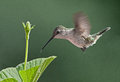 Ruby throated hummingbird drinking nectar from flower Royalty Free Stock Photography