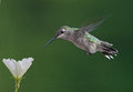 Ruby throated hummingbird drinking nectar from flower Stock Photo