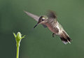 Ruby throated hummingbird drinking nectar from flower Stock Images