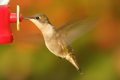 Ruby-throated Hummingbird At A Feeder Royalty Free Stock Photo