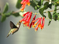 Ruby throated hummingbird feeding at red honeysuckle Royalty Free Stock Image