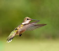 Ruby-throated Hummingbird female in flight Royalty Free Stock Photos
