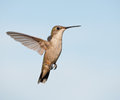 Ruby-throated Hummingbird hovering Stock Photo