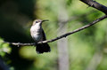 Ruby Throated Hummingbird Perched in a Tree Royalty Free Stock Photos