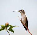 Ruby-throated Hummingbird perched on a twig Stock Photos