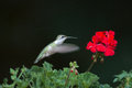 Ruby-throated hummingbird at red flowers Royalty Free Stock Photo