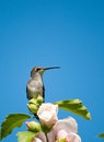 Ruby-throated Hummingbird resting on a flower Stock Images