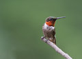 Ruby throated hummingbird sitting on a stick Royalty Free Stock Images