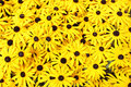 Rudbeckia Royalty Free Stock Photo