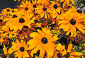 Rudbeckia black eyed susan flowers susans in full flower Stock Photography
