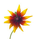 Rudbeckia black eyed susan isolated on a white background Stock Photo