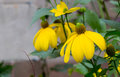 Rudbeckia bright yellow flower in garden border Royalty Free Stock Photo