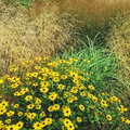 Rudbeckia flowers blooming in the summer garden Royalty Free Stock Photo