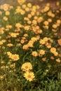 Rudbeckia flowers daisylike flowers