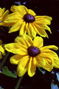 Rudbeckia hirta 'Indian Summer' Royalty Free Stock Image