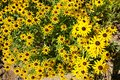 Rudbeckia hirta summer flowers black eyed susans Royalty Free Stock Image