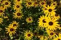 Rudbeckia hirta summer flowers black eyed susans Stock Image