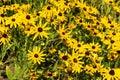 Rudbeckia hirta summer flowers black eyed susans Stock Images