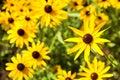 Rudbeckia hirta summer flowers black eyed susans Royalty Free Stock Photo
