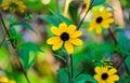 Rudbeckia triloba yellow flowers (browneyed Susan, brown-eyed Su Royalty Free Stock Photo