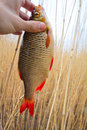 Rudd cane caught on hook against water and Royalty Free Stock Images