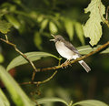Ruddy-capped Nightingale-Thrush (Catharus frantzii Stock Photos