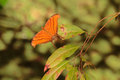 Ruddy daggerwing butterfly a near corkscrew swamp sanctuary florida usa Royalty Free Stock Image