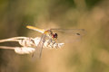 Ruddy darter dragonfly on a grass Stock Photography