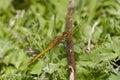Ruddy darter dragonfly sympetrum sanguineum teneral male Stock Photo