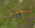 The ruddy darter sympetrum sanguineum on a twig Royalty Free Stock Image