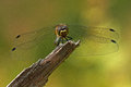 The ruddy darter sympetrum sanguineum on a twig Stock Photography