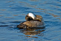 Ruddy Duck Royalty Free Stock Image