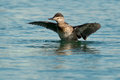 Ruddy duck female standing up in the water flapping her wings Stock Photos