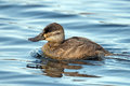 Ruddy duck floating in the water Royalty Free Stock Images