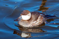 Ruddy duck floating in the water Royalty Free Stock Photography