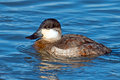 Ruddy duck male floating in the water Royalty Free Stock Photography
