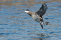 Ruddy duck male preparing to land on the open water Royalty Free Stock Image
