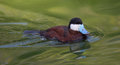 Ruddy duck swimming with blue bill in green water pond Royalty Free Stock Photo