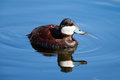 Ruddy duck swimming in a lake with blue water Royalty Free Stock Photo