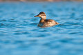 Ruddy duck swimming in the water Royalty Free Stock Photos