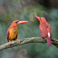 Ruddy kingfisher beautiful red couple of halcyon coromanda male right female left standing on the same branch in the Royalty Free Stock Photography